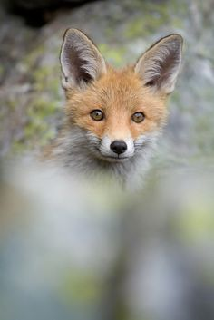 Face to face | Fox by Vincent Favre