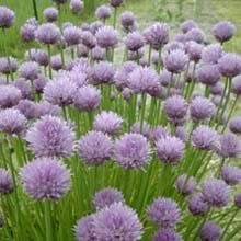 Growing Chives from Seed - How to Grow Chives from Seeds - West Coast Seeds