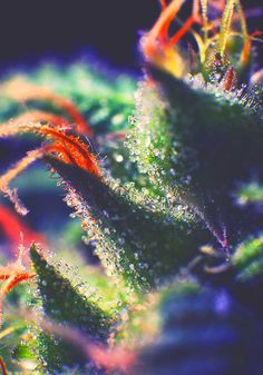 Marijuana Trichomes | Medical Marijuana Quality Matters- Repined-5280mosli.com…