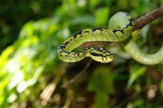 Sri Lankan #Viper in the Sri Lankan Rainforest