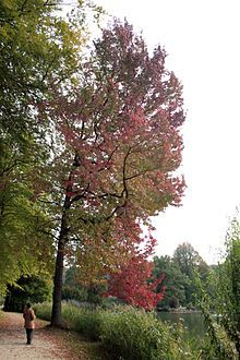 Liquidambar styraciflua - Sweet Gum - Sweetgum is a foodplant for various Lepidoptera caterpillars, such as the gypsy moth. Sweet Gum, Amber Tree, Eucalyptus Tree, Italian Garden, Fall Plants, Autumn Garden, Jpg, Green Life, Trees To Plant