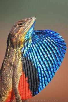 Fan-throated lizard Photo by hemant kumar — National Geographic Your Shot