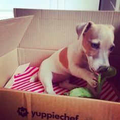 Gracie is a Yuppie Puppy