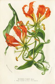 A photograph of an original antique lithograph engraving from Flores de Serres published by Van Houtte in 1845 Vintage Flower Prints, Vintage Botanical Prints, Botanical Drawings, Vintage Flowers, Illustration Botanique, Plant Illustration, Botanical Flowers, Botanical Art, Gloriosa Lily