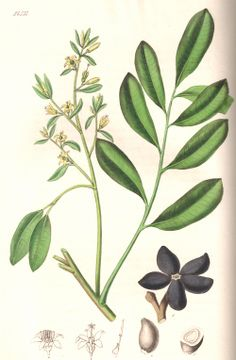 """Quassia. From Ed Smith's personal library: Stephenson & Churchill, """"Medical Botany"""": 1834-1836."""