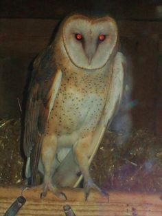 Barn Owl- this one looks possessed
