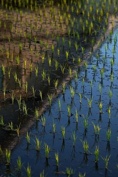 Rice Paddy with House Reflecting, Iwate, Japan