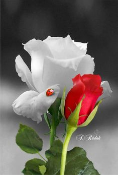 Gardens Discover Zeliha Demirtaş Join the world of pin Beautiful Rose Flowers Unique Flowers Exotic Flowers Amazing Flowers Pretty Flowers Rose Images Hybrid Tea Roses Special Flowers Growing Roses Wallpaper Nature Flowers, Beautiful Flowers Wallpapers, Flowers Nature, Flower Wallpaper, Beautiful Rose Flowers, Exotic Flowers, Amazing Flowers, Unique Flowers, Rose Flower Pictures