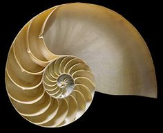 a nautilis cross section showing the beauty and mathematical elegance of the Golden Mean...  This could be a good tattoo...