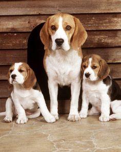 Beagle family --