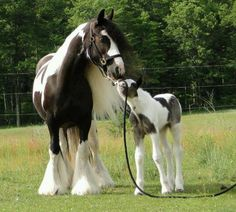 Gypsy Vanner mare and foal.