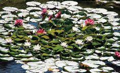Auch die Pflanzen im #Teich brauchen pflege. Wir geben Tipps. #Garten