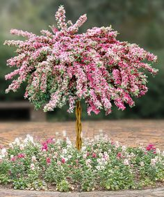 Varigated weigela shaped into a tree