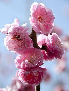 国営昭和記念公園 「楊貴妃」はアンズと梅の勾雑種である「豊後系(ぶんごけい)」「豊後性(ぶんごしょう)」の、淡紅色をした梅です。 八重咲きで大輪の花を咲かせ、「楊貴妃」と呼ぶに相応しい豪華で華やかな印象を与えます。桜や牡丹でも楊貴妃という名前の花がありますが、いずれも、その美しさから名付けられたようです。