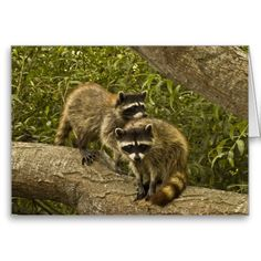 Raccoons Card from Florals by Fred #zazzle #gift