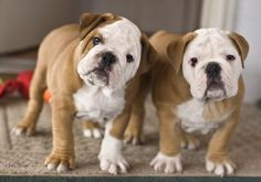 I need these buddies. #buldog