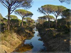 Parco della Maremma , pine forest