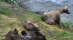 I'm watching #bearcam on @exploreorg, streaming live from Brooks Falls, Alaska at @KatmaiNPS: