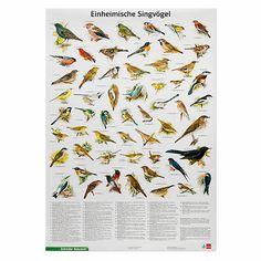Alfred Brehm schrieb einmal, kein anderes Geschöpf wisse so zu leben, wie der Vogel lebt, denn den wachen,... - Poster einheimische Singvögel