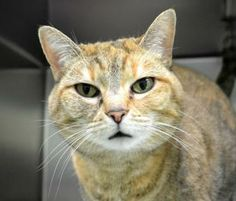 Punkin is 9 years old and was surrendered because she was afraid of the new boyfriends cats; for that reason, we ask that she be the only pet. Punkin is a little round...with a little orange tint. And she's so, so, so sweet and loving! She loves...