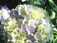 White/green/lilac hydrangia