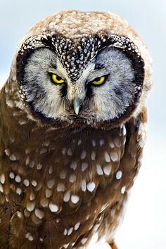 ~~Intensity ~ Boreal Owl by Carrie Groseclose~~