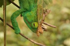 Parsons chameleon in Andasibe-Mantadia National Park, Madagascar