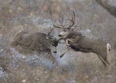 Popular Types of Hunting - HuntingTopic Mule Deer Hunting, Deer Hunting Tips, Big Game Hunting, Trophy Hunting, Hunting Bows, Hunting Videos, Hunting Stuff, Deer Pictures, Deer Pics