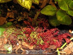 Photo of Ruby Red Spikemoss (Selaginella erythropus 'Sanguinea') uploaded by plantladylin