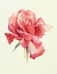 Water color painting Rose