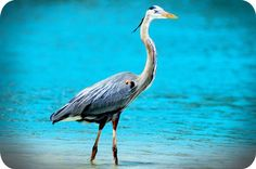 Go Zen, and explore the symbolic meaning of the Heron. This article addresses themes of intelligence, patience and being present in the moment with the heron totem.