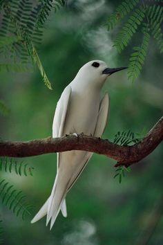 Fairy Tern in Acacia tree