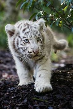 white tiger cub Expression