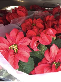 Winter Rose Poinsettias available 1st week in December (2020) Winter Rose, Day Lilies, Poinsettia, December, Plants, Plant, Planets