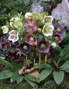 Hellébores: plantez votre hellébore dans un sous-bois ou un autre endroit qui est ombragé l'été mais ensoleillé au printemps. une belle floraison qui dure du début mai jusqu'en juillet.