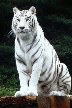 Big Cat Tiger Wild Animals Wallpapers HD For iPhone Android Cute Baby Animals, Animals And Pets, Wild Animals, Beautiful Cats, Animals Beautiful, Big Cats, Cats And Kittens, Rare Albino Animals, Tiger Pictures