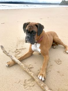 Henry the Boxer pauses mid chew of a large branch found on the beach today Cute Boxer Puppies, Boxer Dog Puppy, Boxer Bulldog, Baby Puppies, Baby Dogs, Doggies, Boxer And Baby, Boxer Love, I Love Dogs