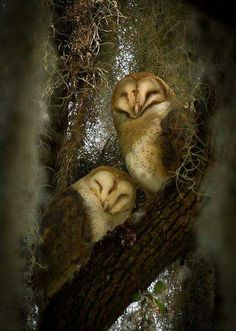 Napping Owlets.. Looks like baby Barn Owls to me..。Sweet!