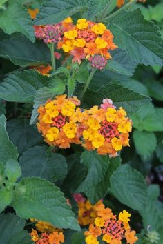 Miss Huff Hardy Lantana for sale buy Lantana camara 'Miss Huff'