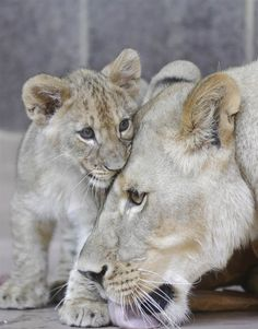 A 3-month-old lion cub snuggles up to its mother at the Henry Doorly Zoo in Omaha