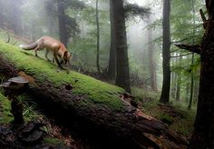 Fox in misty forest   image by Klaus Echle