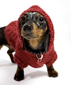 Dachshund in a sweater - super cute! Little Dogs, Cute Puppies, Cute Dogs, Funny Animals, Cute Animals, Dachshund Love, Dachshund Sweater, Puppy Sweaters, Daschund