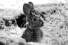 What animals do you see in winter? Children can explore the Ipswich River Wildlife Sanctuary and discover what behaviors help animals and woodland creatures Survive the Winter months on the North Shore of Massachusetts. Beautiful Creatures, Animals Beautiful, Beautiful Babies, Gray Garden, Baby Animals, Cute Animals, Wild Animals, Wild Rabbit, Snow Bunnies