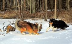 Shelties playing