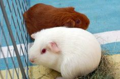 Guinea Pig Care:  How to care for a guinea pig? The guinea pig can be purchased at pet stores or pet shops. The recommendation, however, is to give preference to local or known breeders and experienced in dealing with animals …