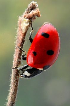 "ladybug: ""Seven-spot ladybird"" (Coccinella septempunctata) by itchydogimages 2011-05-03, Beijing • via Flickr 6197953564"