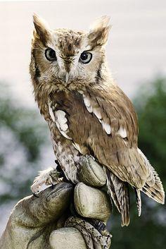{tiny owl} so cute! Beautiful Owl, Animals Beautiful, Owl Bird, Tier Fotos, All Gods Creatures, Pretty Birds, Birds Of Prey, Cute Baby Animals, Baby Owls