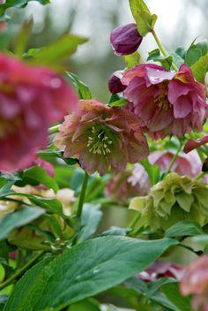 Hybrid lenten rose 'Double Black' 'Double Ellen Picotee' • Helleborus 'Double Ellen Picotee' • Plants & Flowers • 99Roots.com