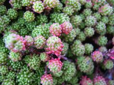 Sedum lydium: fresh green leaves that turn red when planted and full sun, flowers few (not too accurate right?) with white petals and red carpels, a native of Armenia to Turkey, moisture tolerant...