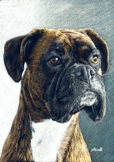 Looks like our sweet Gussy.    The Portrait  Boxer Dog A4 Size Limited Edition by stephenr2262, $10.99